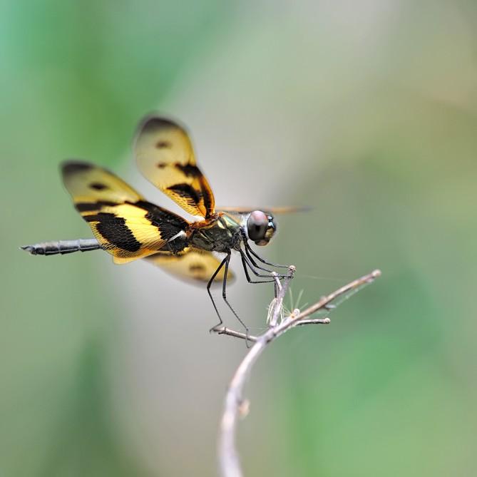 Стрекоза Rhyothemis variegata